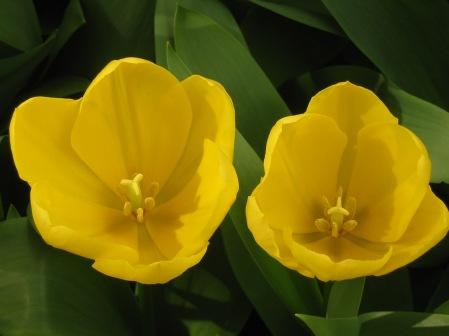 flower-holland-netherlands-rf